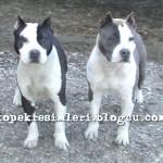 pitbull resimleri pitbull dövüşü13
