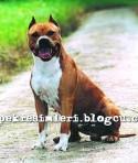 pitbull resimleri pitbull dövüşü15