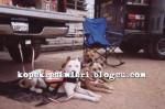 pitbull resimleri pitbull dövüşü8