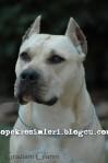 pitbull resimleri pitbull dövüşü9